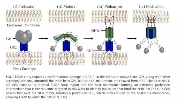 靶向GP2蛋白的埃博拉病毒抑制剂虚拟筛选策略