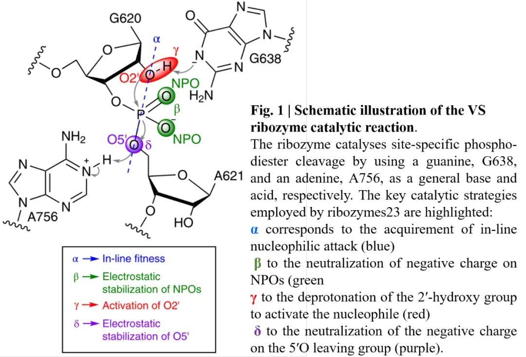 Nature Chemistry | 理论结合实验揭示Varkud卫星核酶的催化机理