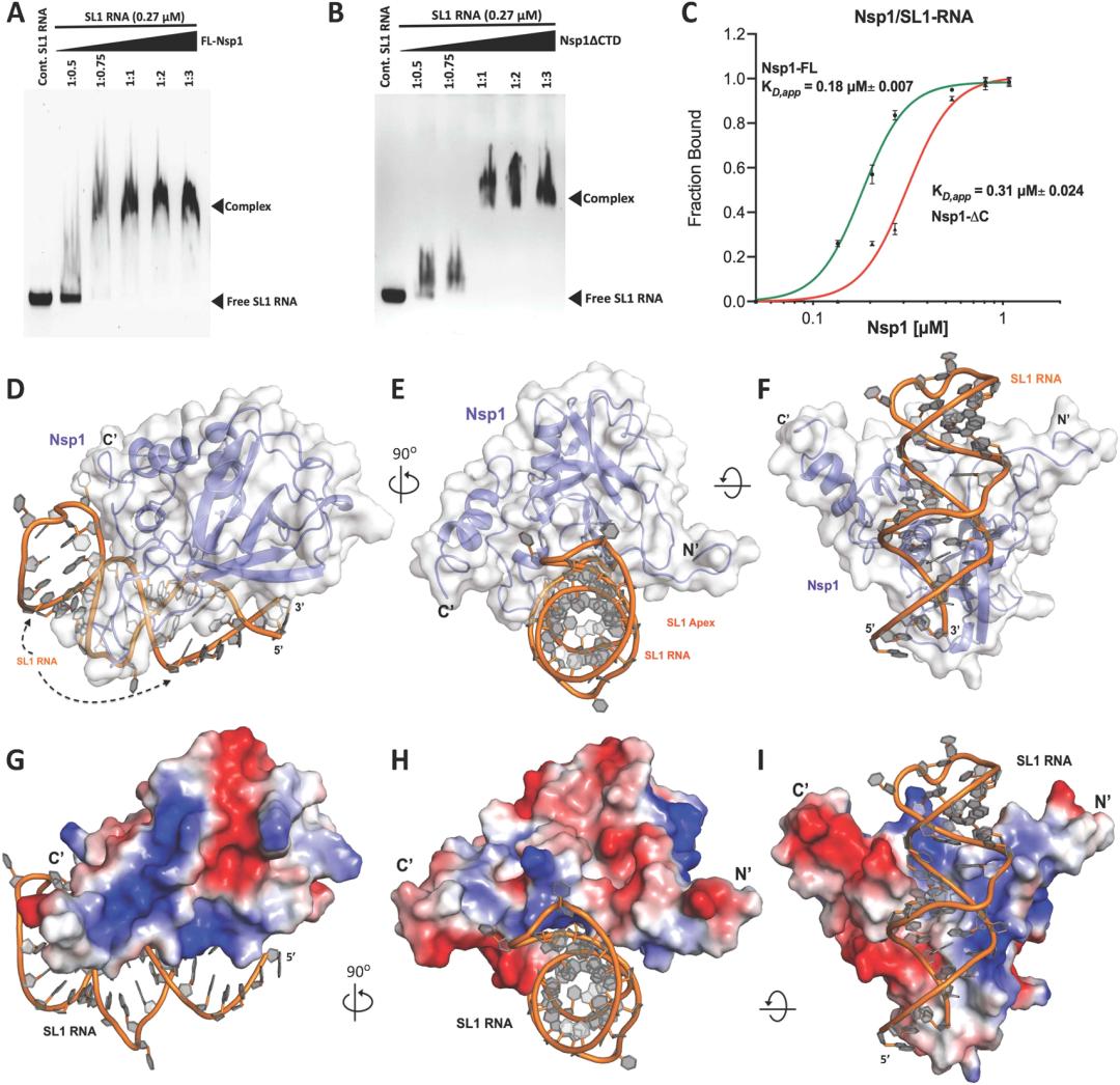 JPCL   明确SARS-CoV-2 Nsp1与非翻译区复合物的结构对疫苗开发有何启示?
